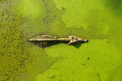 alligator in wetland pond covered with duckweed and swimming.