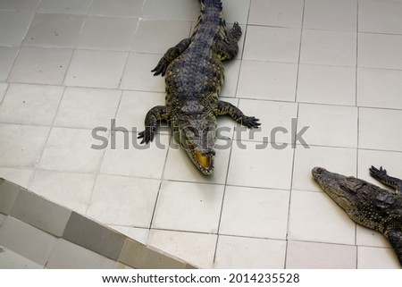 Alligator is a crocodile from the genus of Alligators of the family Alligatoridae. Two living species-American alligator (mississippiensis)