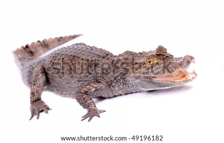 alligator isolated on a white