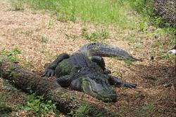 Alligator laying on land with green algae on it