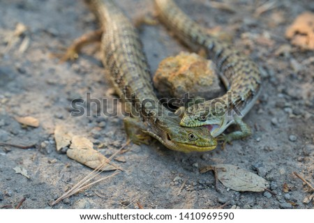 Alligator lizard pair closeup biting, California or Southern alligator lizards mating behavior, fighting behavior  #1410969590