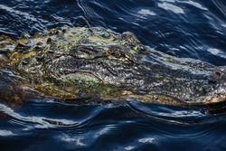 Alligator looks at camera while covered in algae