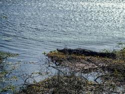 Alligator on a river beach