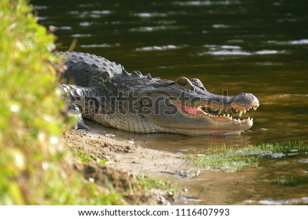 Alligator on the shore of the lake lies near the water with an open mouth in a natural habitat. Alligator laying near a pond with its mouth open. Alligator on land.