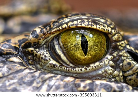 Alligator or crocodile animals eyes closeup