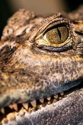 Alligator or crocodile concept. Eye of alligator and teeth on head.  Crocodile is dangerous animals and large aquatic reptiles