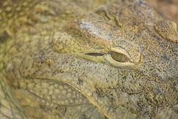 Alligator or crocodile concept. Eye of alligator and teeth on head. Eye is bright golden beautiful color. Crocodile is dangerous animals and large aquatic reptiles. Animal portrait with eyes and skin