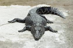 alligator relax