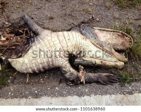 Alligator Roadkill Amazing