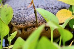 Alligator smile through water flora