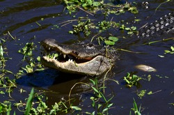 Alligator smiling from down below