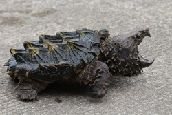 Alligator snapping turtle on the road