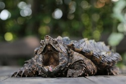 Alligator Snapping Turtle wallpaper