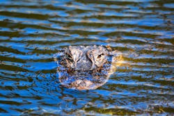 Alligator #1 staring me down in colorful pond water with horizontal shadow lines. Alligator #2 soaking up the sun alongside golf course pond and keeping his eye on on me.