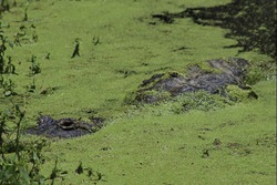 Alligator submerged in water covered in algae with only eyes showing