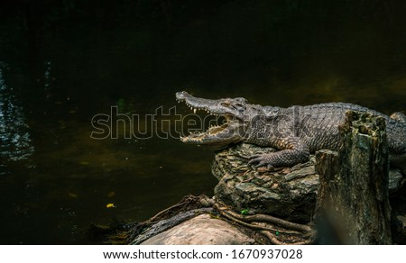 Alligator sun bathing beside swamp in a zoo, opened mouth, view side of body. Close up alligator on big rock, dark shadow cover water. Space for text in image.