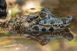 Alligator sunbathing on the grass