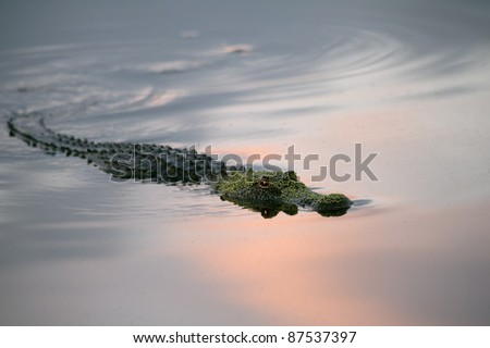 alligator swimming in florida wetland pond at sunrise on partly cloudy morning