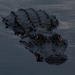 Alligator swimming with red eyes
