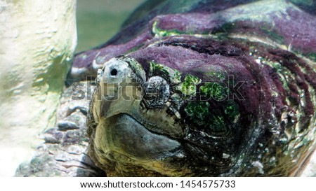 Alligator tortoise (Macrochelys temminckii) seen in detail. It is the largest freshwater tortoise in the world and can reach 1 m in length and almost 100 kg in weight