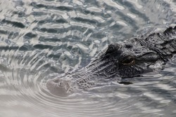 Alligator upclose ready to attack
