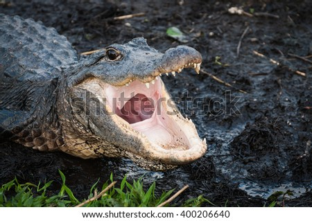 Alligator with jaws open wide at Everglades National Park #400206640