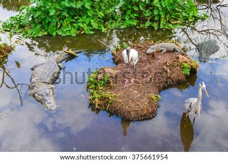 Alligators and great egrets