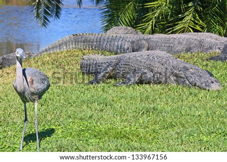 Alligators and the bird, Gatorland,  Orlando, FL - stock photo