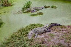 Alligators in The Alligator Farm in Mobile, Alabama, USA. Beautiful pair of big alligators resting under the sun