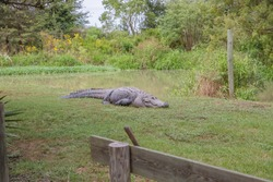 Alligators in The Alligator Farm in Mobile, Alabama, USA. Portrait of big alligator resting in the sun