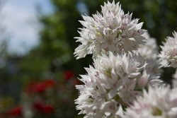 Allium amplectens 'Graceful Beauty' flower head in full bloom standing out amongst others