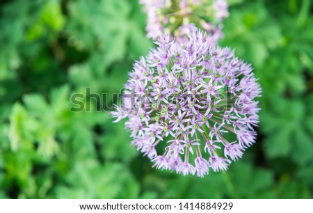 Allium blooming close up. Ball of blossoming allium flowers. Beautiful alliums for gardening theme. Botany concept. Violet bloom gorgeous flower. Gardening and planting plants. #1414884929