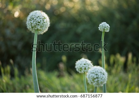 Allium cepa Flower