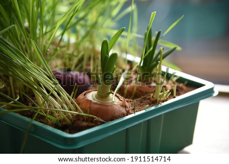 Allium cepa: onions and grass for pets grow in a pot by the window Foto stock ©