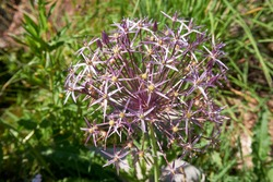 Allium cristophii, Persian onion, star of persia