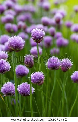 Allium flower bloom