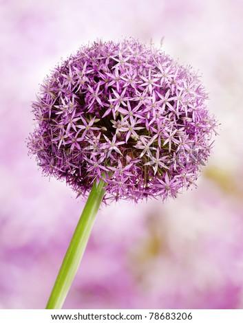 Allium flower head detail, isolated on white