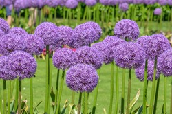 Allium giganteum commonly called an Giant Onion Allium in bloom over the early summer