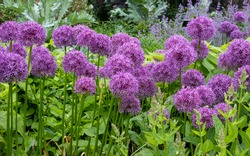 Allium giganteum flower heads, also called a giant onion Allium. The flowers bloom in the early summer and make an architectural statement in the garden.