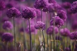 Allium Giganteum, head of purple flower, giant ornamental onion in garden, decorative onion with round large purple flower heads