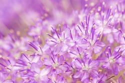 Allium, gigantium, flowers.