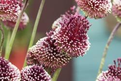 allium mohican plant