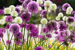 Allium or Giant onion is a beautiful flowering garden plant with small globes of intense white and purple umbels at Springtime in Germany close up