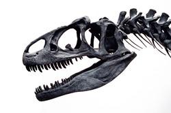 Allosaurus skull.