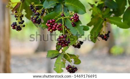 Allspice (Pimenta officinalis)or (Pimenta dioica) fruits Foto stock ©