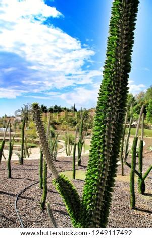 Alluaudia procera cactus plant in a garden in Almeria, Spain