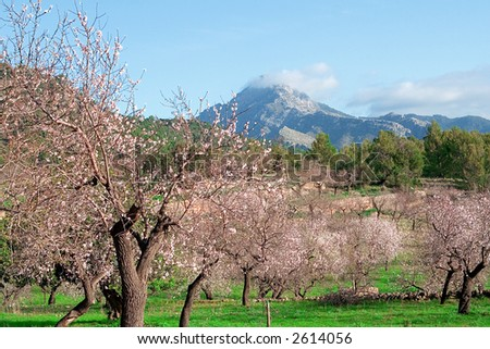 almond blossom and mountain