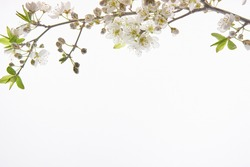 almond blossom branch on top over white background with space for text
