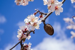 Almond blossom branch with blue sky and clouds background.