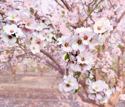 Almond blossom spring background. Beautiful pink spring tender flowers blossom. Pink almonds cherry flower close-up. Spring time flowers background. Pink sharp and defocused flowers blooming tree.